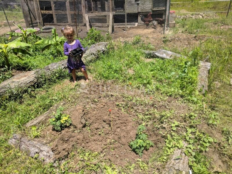 toddler helping plant tomatoes