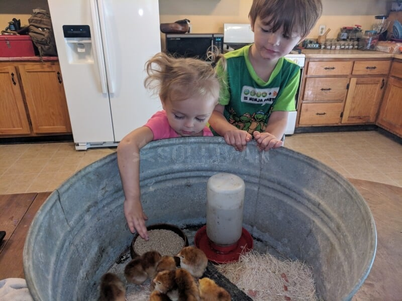 toddlers caring for baby chicks
