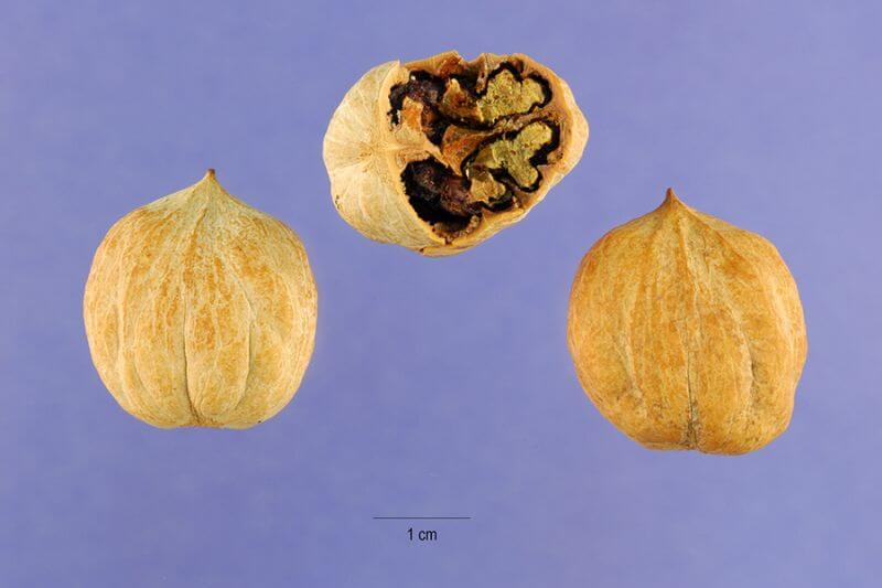Pignut Hickory nuts