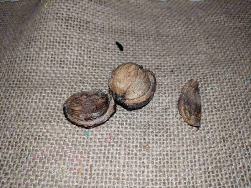 foraged hickory nut
