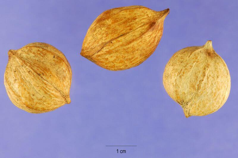 nuts of the Mockernut tree
