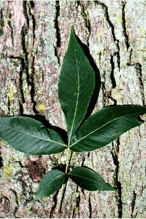 Pignut Hickory leaf