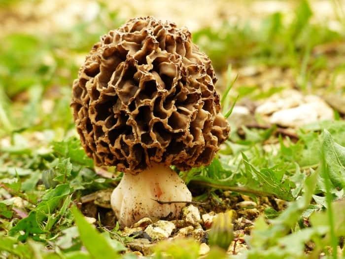 a true morel mushroom