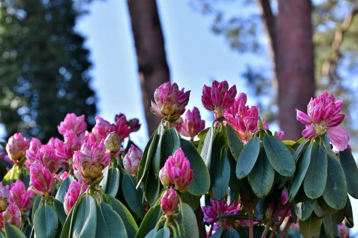 rhododendron flower buds