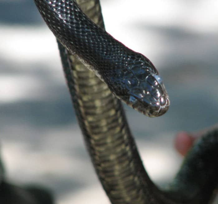an eastern ratsnake