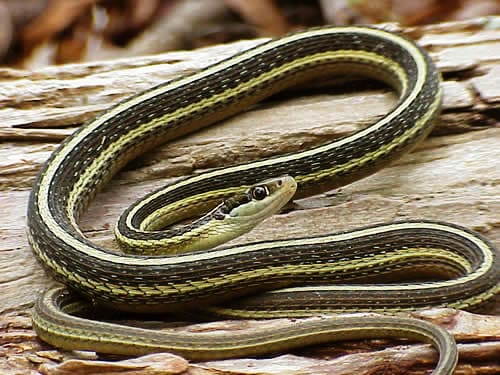 a  ribbon snake