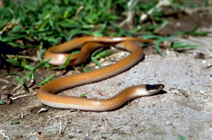Plains Black-Headed Snake