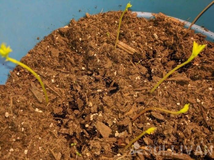 dwarf moringa sprouts