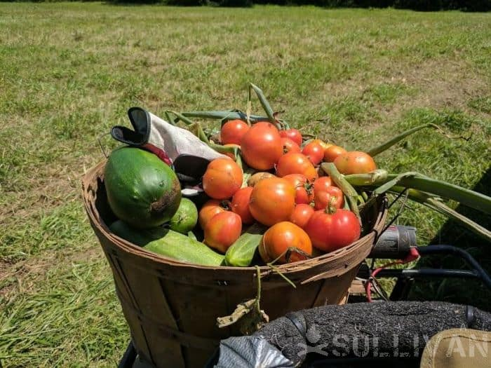 harvested tomatoes-and other veggies in basket