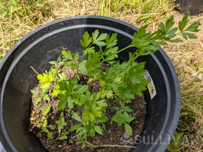 parsley growing in a container