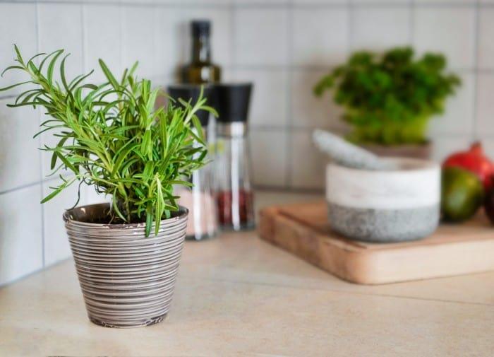 rosemary in pot