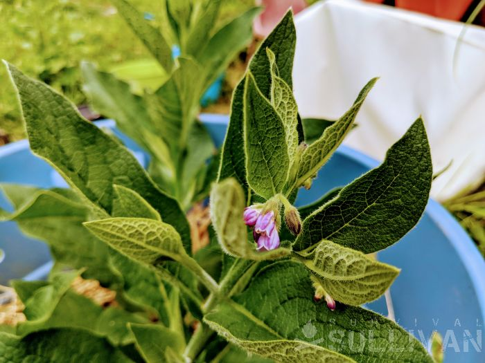 comfrey plant in bloom growing in container