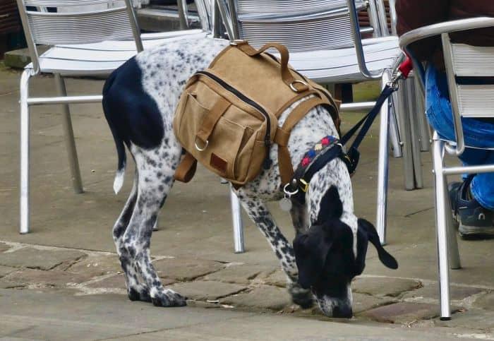 dog with supplies bag