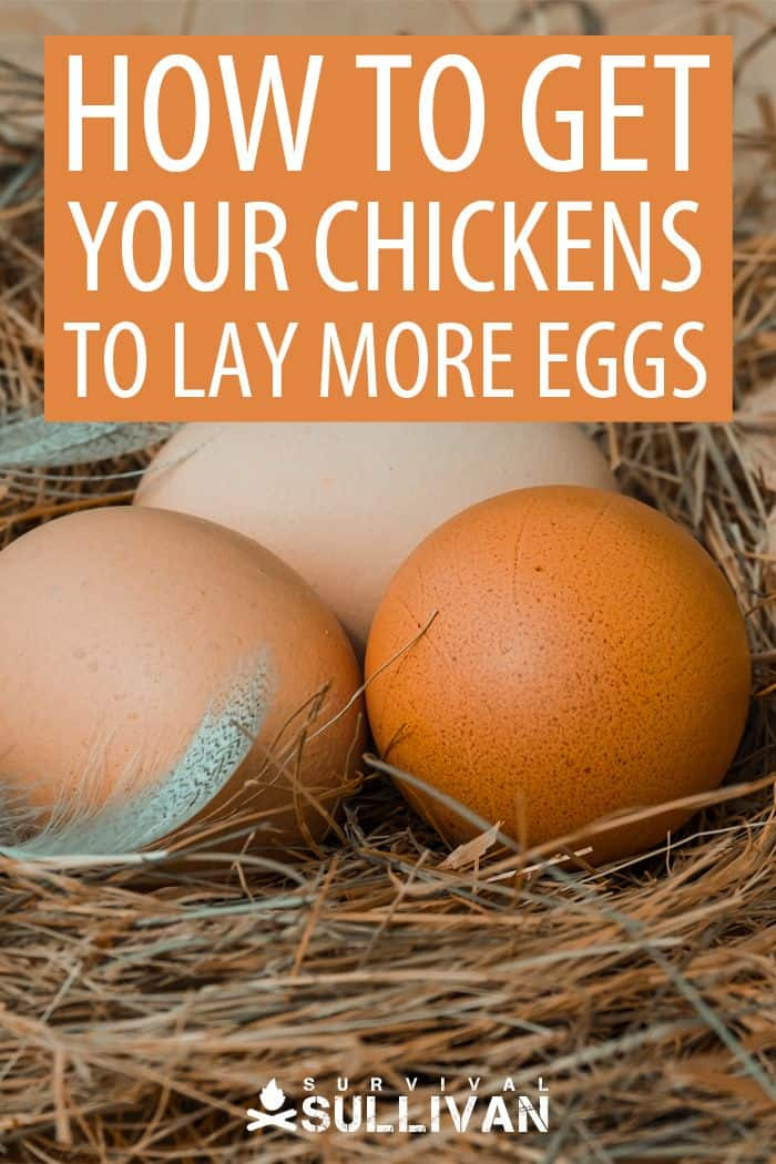 more eggs from chicks Pinterest image