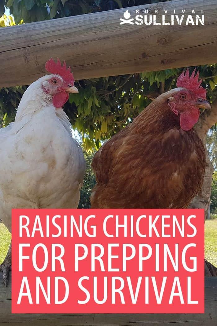 raising chickens Pinterest image