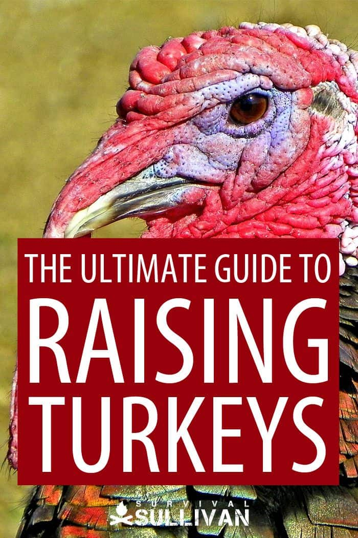 raising turkeys Pinterest image