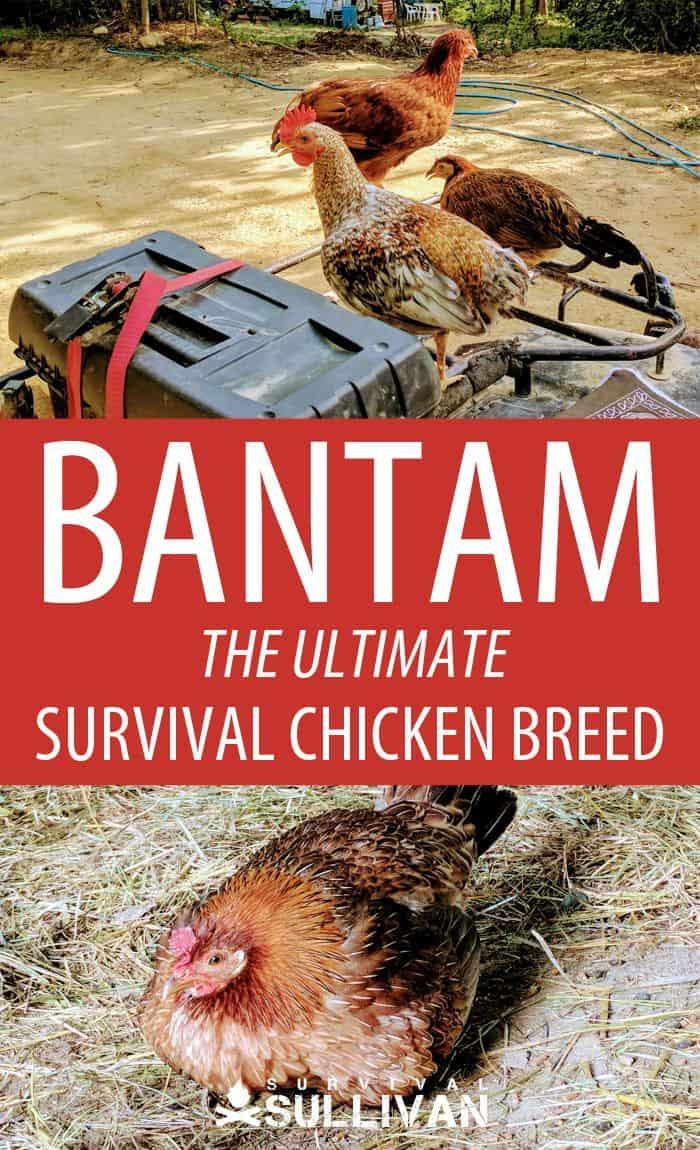 bantam chickens Pinterest image