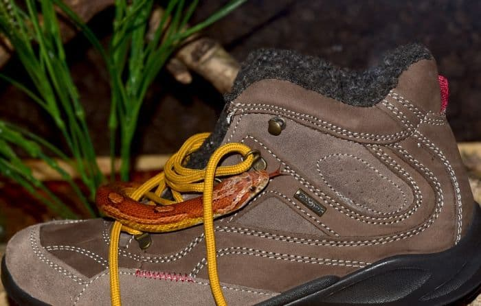 corn snake on hiking boot