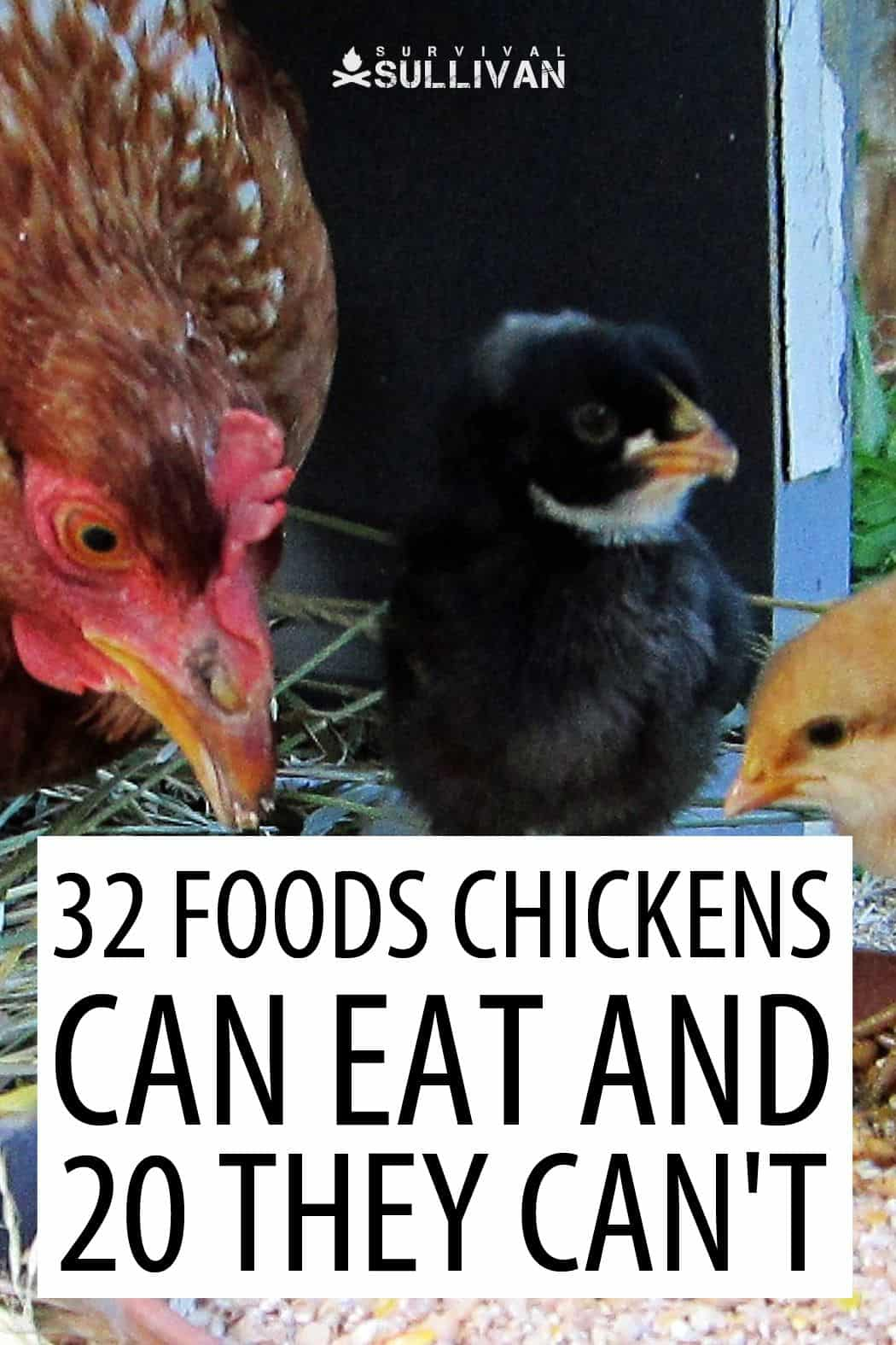 feeding chickens Pinterest image