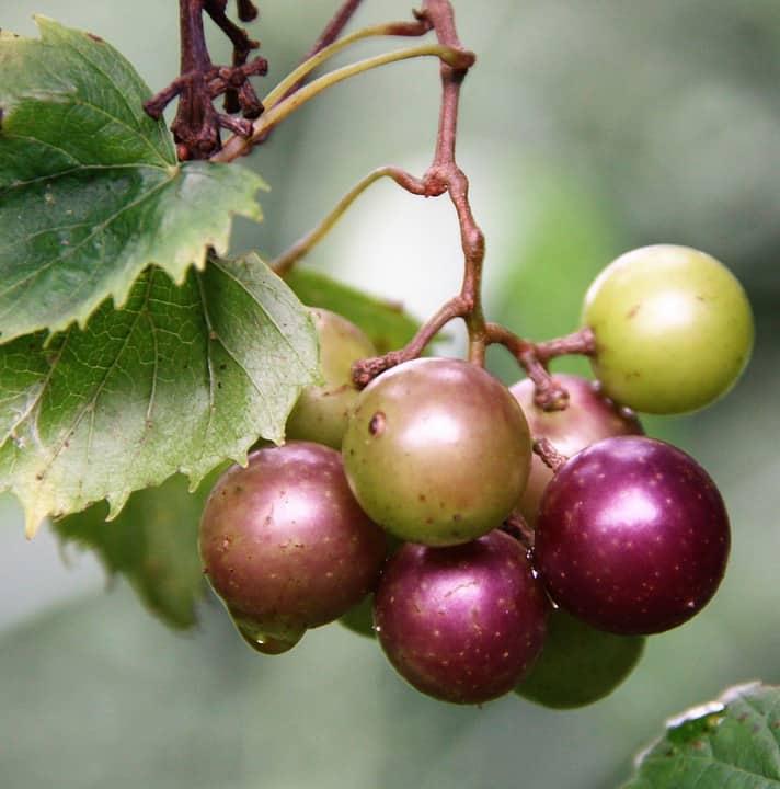 muscadine berries