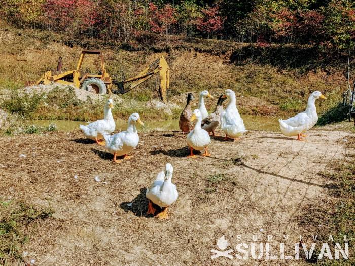 Pekin and Khaki Campbell ducks