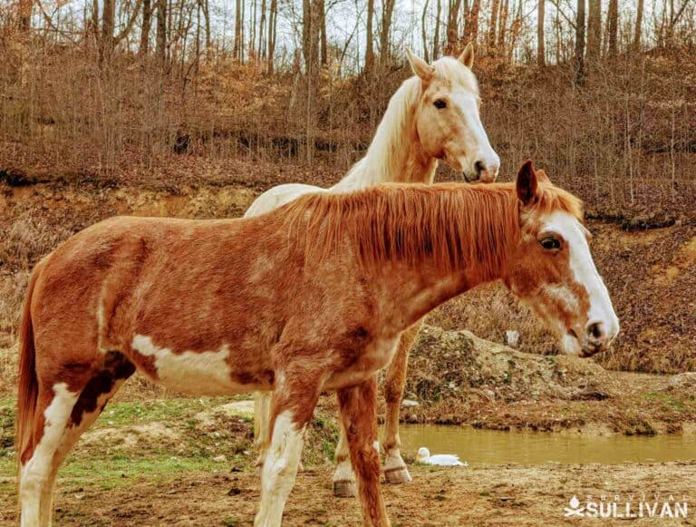 two Tennessee Walker horses